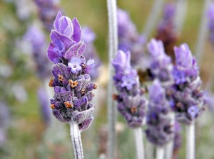 Lavender is calming.